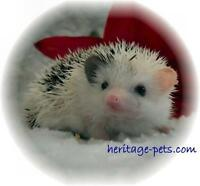 Hedgehogs starting at $125.00
