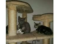 3 KITTENS NOW LEFT - VARIOUS COLOURS & PRICE READY NOW