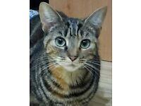 Silver Grey Tabby female cat (neutered)
