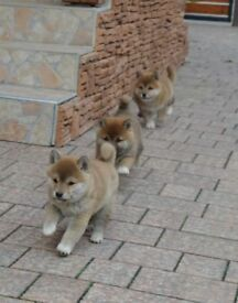 Red Japanese Shiba puppies with Pedigree