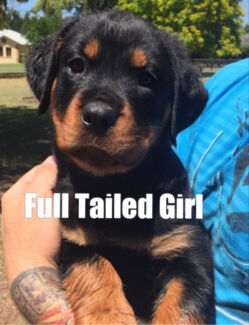 Purebred German Rottweiler Pups Tailed & Natural Bobtail Available Now