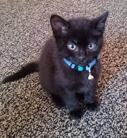 2x black male 9 week old kittens