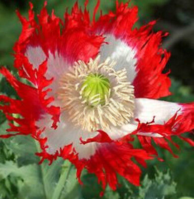 Papaver Somniferum Poppy Seeds - POPPY Papaver somniferum DANISH FLAG✿2000 SEEDS✿Large 5