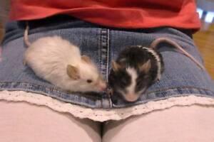 Pair of Mice for adoption Kotara Newcastle Area Preview