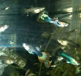 Guppies & Platys (mixed)