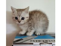 SILVER TABBY BRITISH SHORTHAIR KITTENS (BOY'S ONLY)