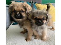 Lovely Pekingese puppies