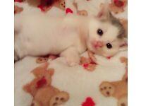 For sale persian Cross kittens