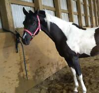 half Arabian Saddlebred