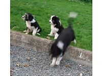 Bearded collie pups for sale