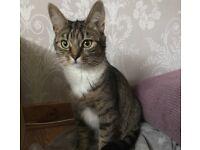 Beautiful part bengal female 2 year old cat