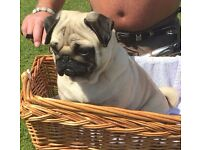 kc reg stunning pug puppies.