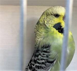 Whitecap budgie. Club rung from English bloodlines. New mutation. Ferntree Gully Knox Area Preview