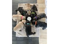 Reduced! Adorable French bulldog puppies