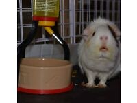 Guinea Pig Rehoming