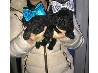 poodie puppys
