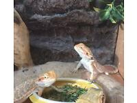 HYPO female bearded dragons for sale!!