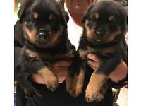 BIG old fashioned type Rottweiler puppies available