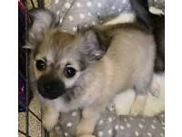 Kc L/C female chihuahua puppy *REDUCED*