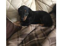Dacshund cross bedlington puppys
