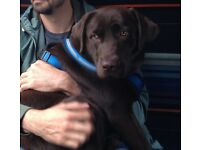 Chocolate Labrador bitch - 14 months