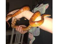 Anery sun glow corn snake