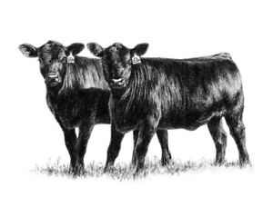 Angus Cows For Sale