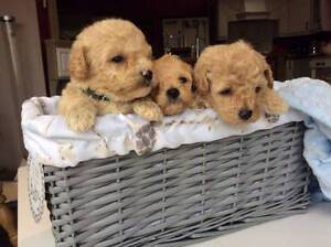 Stunning Poochon (Bichon Frise X Poodle )Boys Available.. Sydney City Inner Sydney Preview