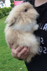 Rabbit lion head
