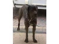 Cane corso / Italian mastiff