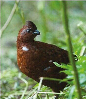 6 Tennessee Red Bobwhite Quail Hatching Eggs
