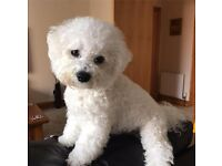Stunning KC Reg Bichon Frise puppies small dog