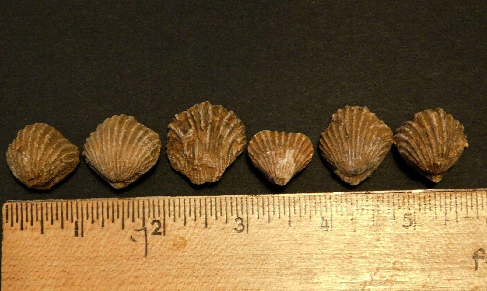 an analysis of brachiopod prominent shell fish Brachiopod shells, fossils of kentucky, kentucky geological survey.