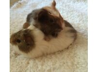 Beautiful baby female Guinea pigs