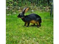6 month old belgian hare female for sale