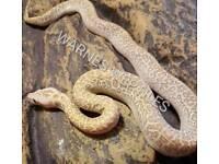 Hypo Granite het albino Burmese