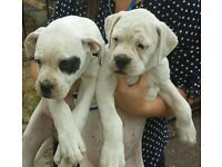 American (Johnson) Bulldog Pups - READY TO LEAVE MUM