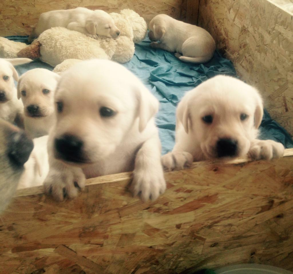Golden Retriever X Labrador X Pedigree Labrador Puppies In Beccles