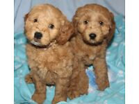 FOX RED COCKAPOO PUPPIES (PRA CLEAR) WITH OWN DNA TESTING CERTIFICATES READY NOW