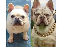 Testable French Bulldog Puppies Merle Platinum