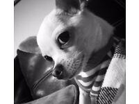 Small Chihuahua (poss teacup)