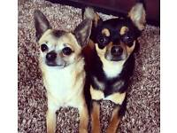 Two beautiful Chihuahuas for sale