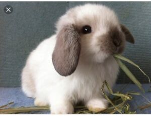 Looking for a sable point mini or holland lop