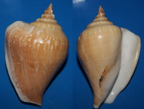 Seashells Strombus canarium DOG CONCH 104mm F+++/GEM thick & heayv Marine Specie