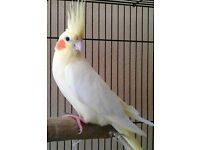 Beautiful colours Baby Cockatiels parrot from £60