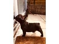 beautiful French bulldog puppie