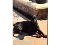 8 World Class Dobermans Puppies