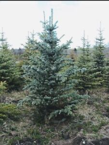 Blue Spruce | Kijiji in Saskatchewan  - Buy, Sell & Save with