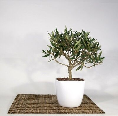 Bonsai di Olivo in vaso quadrato