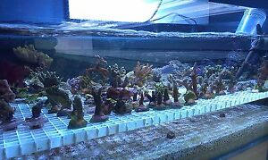 Coral starter frag pack Soft/LPS/SPS 5 choice pack